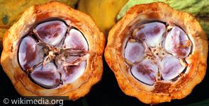 Kakao Pflanze von Innen