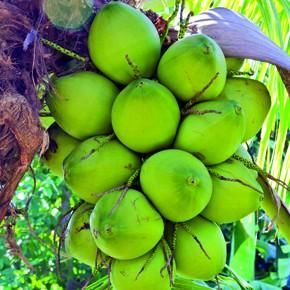 Im Porträt: Die Kokosnuss